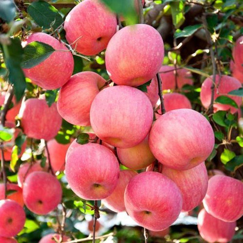 山东栖霞苹果净重9斤(80mm和85mm任选)